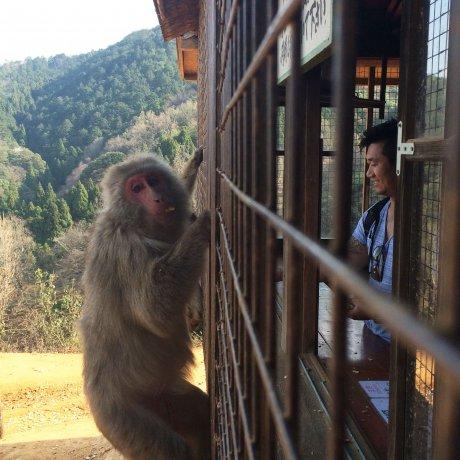 京都嵐山岩田山猴子公園