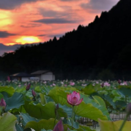 蓮花天堂的神奇夜晚