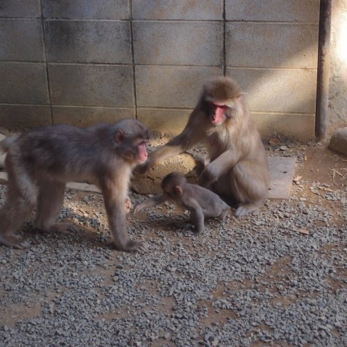 Macaques